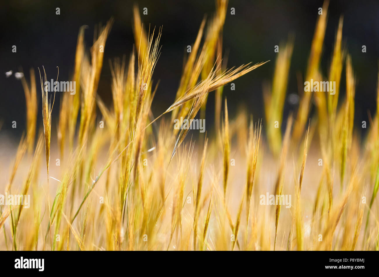 Esparto grass (Stipa sp.) spikes in Can Marroig public estate in Ses Salines Natural Park (Formentera, Balearic islands, Spain) - Stock Image