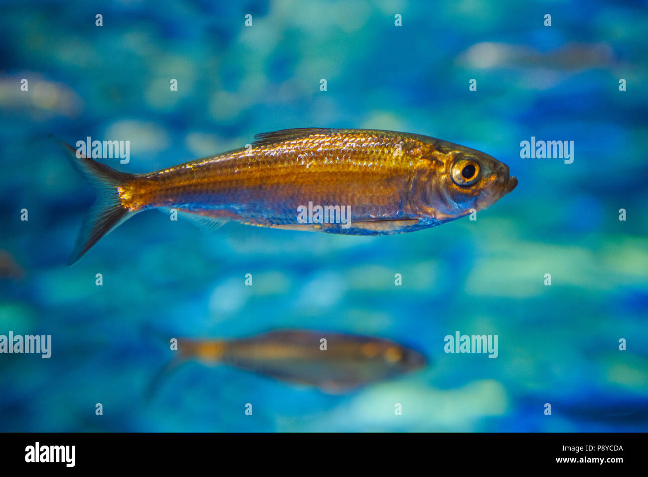 One small sea ocean yellow tropical fish in blue water, colorful underwater world, copyspace for text, background wallpaper - Stock Image