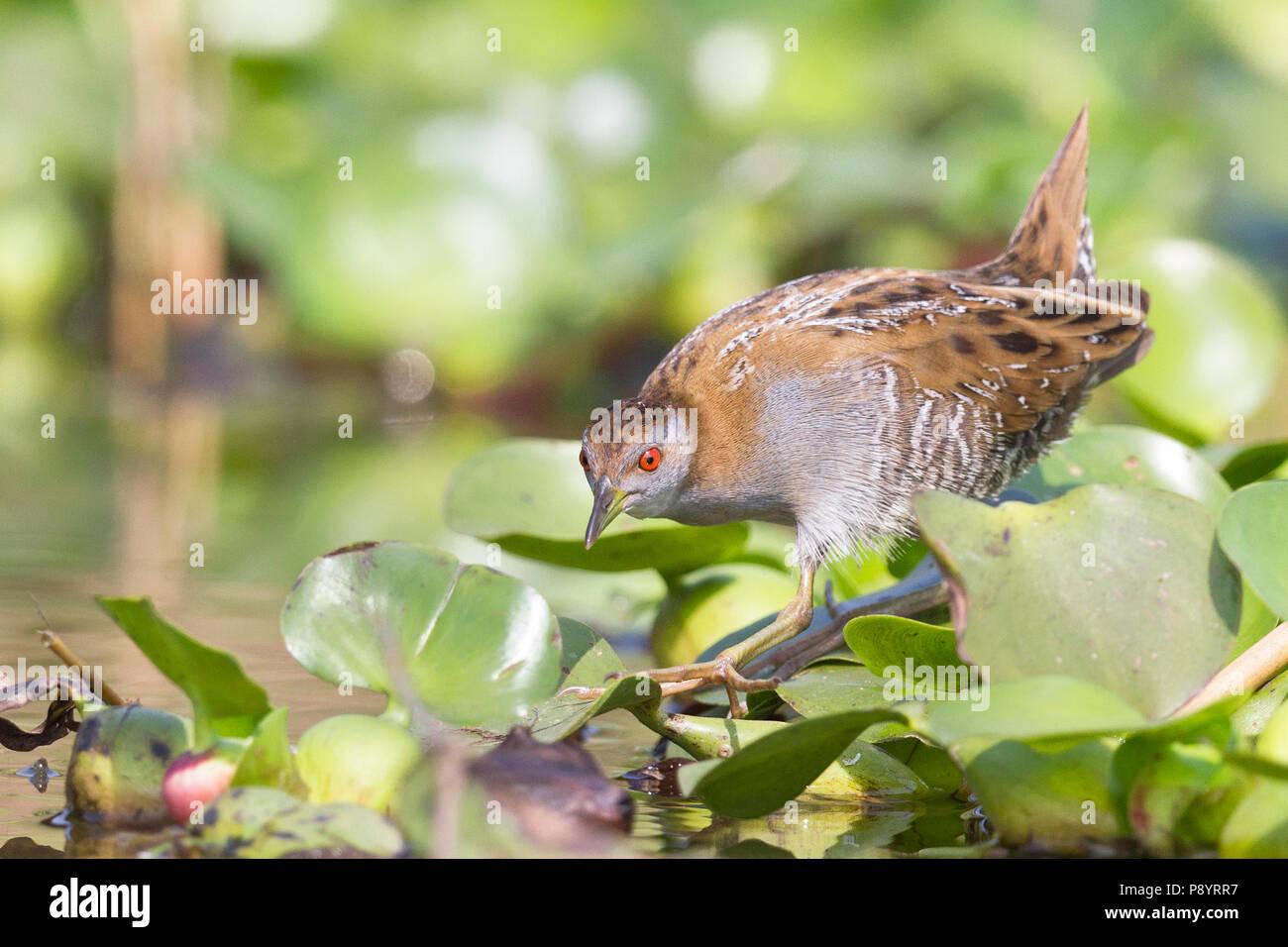 Baillon's crake (Porzana pusilla) in Manglajodi wetlands Orissa India - Stock Image