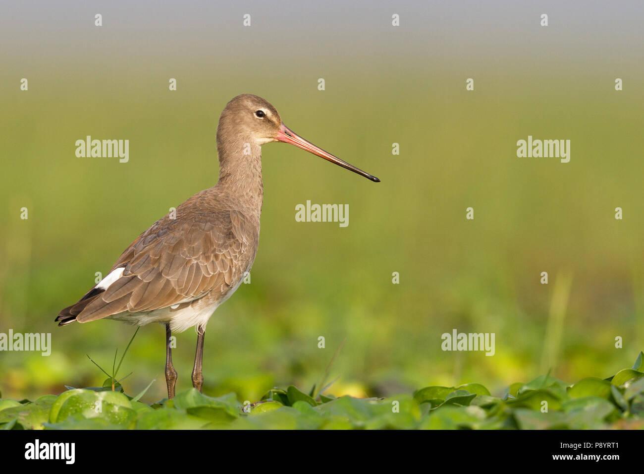 Black-tailed Godwit or Limosa limosa in Manglajodi wetlands Orissa India - Stock Image