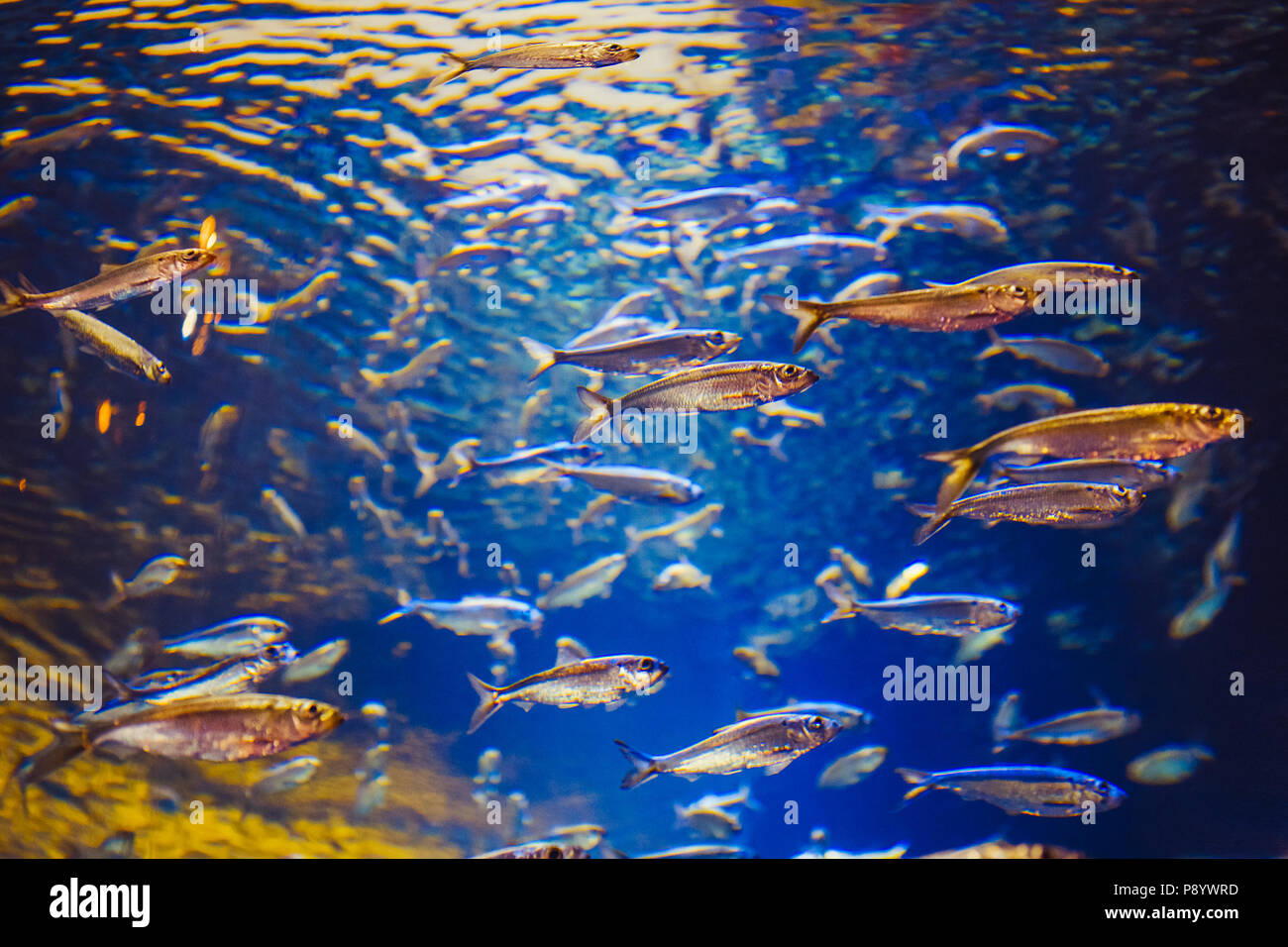 Shoal of red yellow tropical fishes in blue water, colorful clear underwater world, copyspace for text, background wallpaper - Stock Image