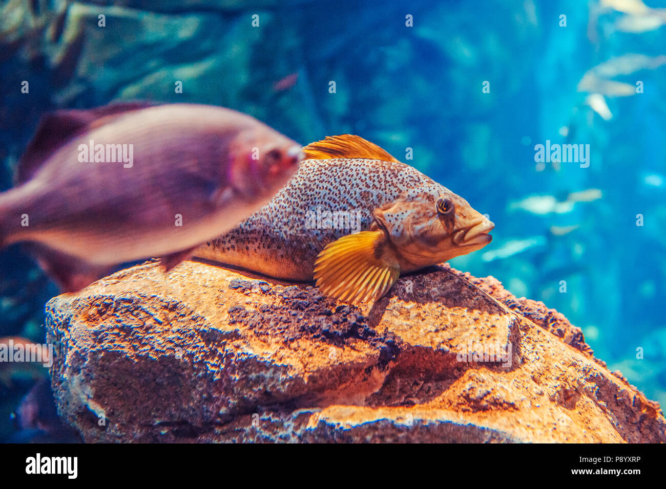 Two large big red yellow tropical fishes in blue water, colorful underwater world, copyspace for text, background wallpaper - Stock Image