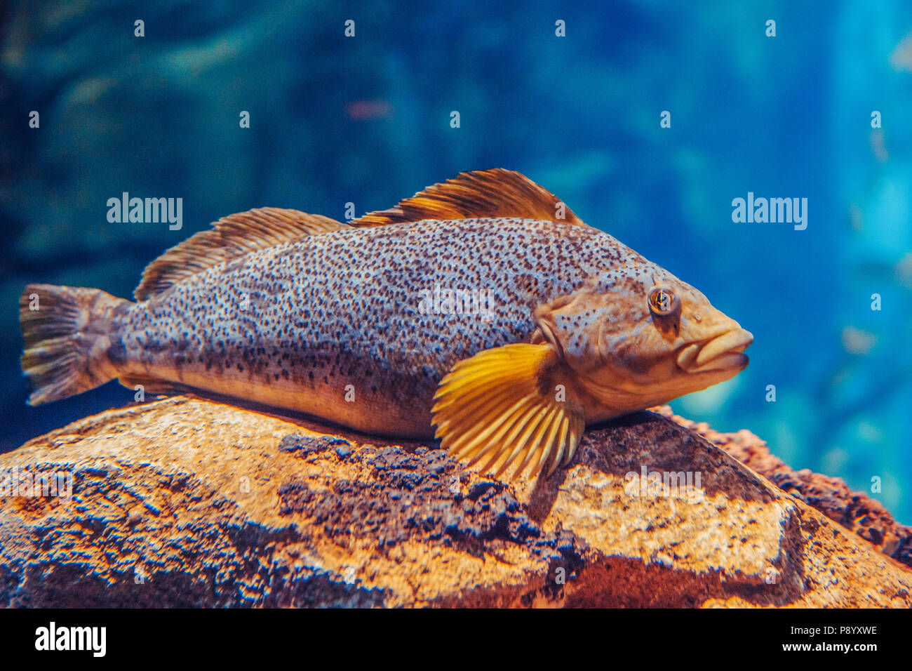 One red yellow large fish in blue water, colorful underwater world, copyspace for text, background wallpaper - Stock Image