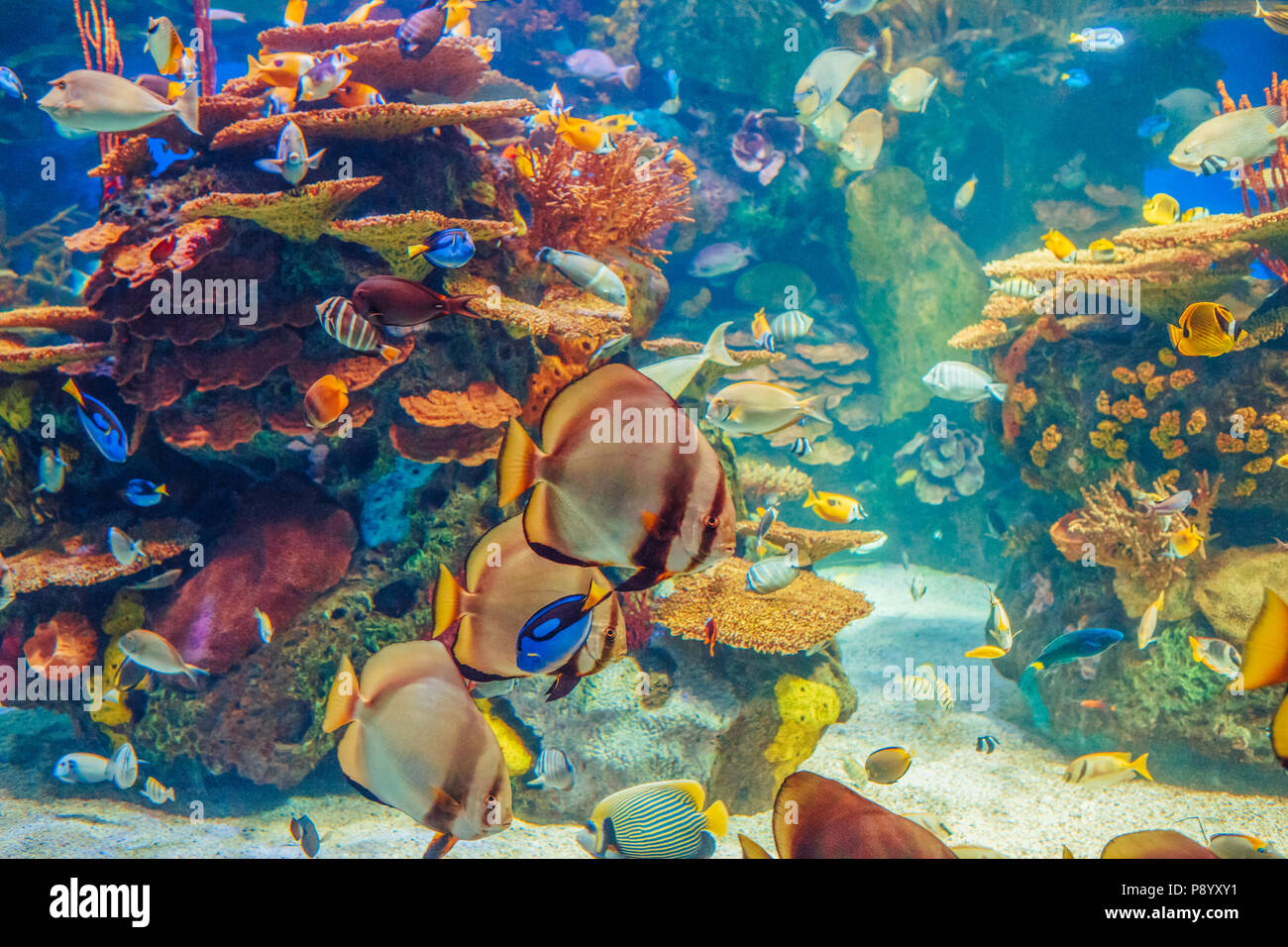 Shoal group of many red yellow tropical fishes in blue water with coral reef, colorful underwater world, copyspace for text, background wallpaper - Stock Image