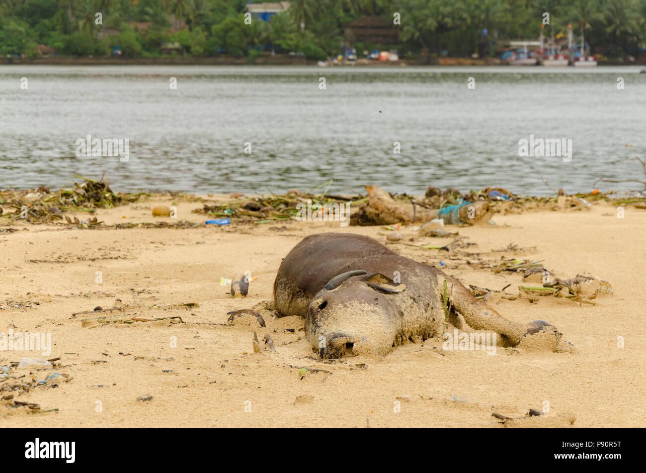Dead cow carcass lying on Betul beach, Cavelossim, Goa, India - Stock Image