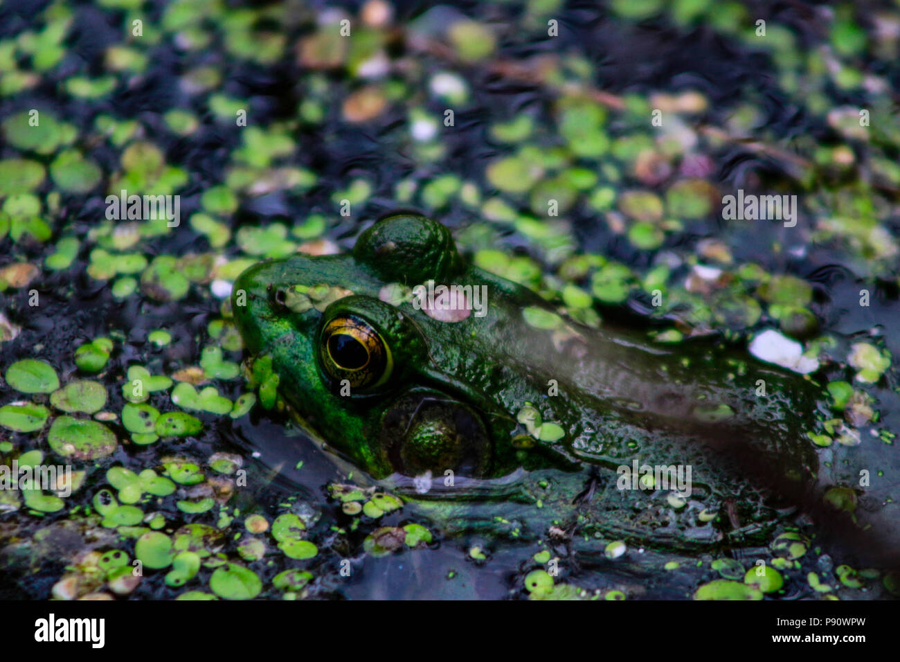 Northern Green Frog sunning itself on a rock. Also known as the American Common Frog. Don Valley Brickworks Park, Toronto, Ontario, Canada.. - Stock Image