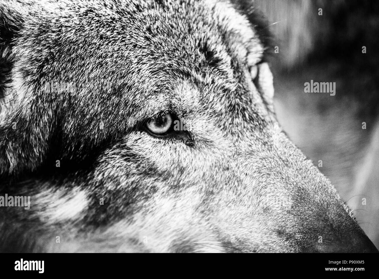 Black and white portrait of a wolf stock photo 212077269 alamy