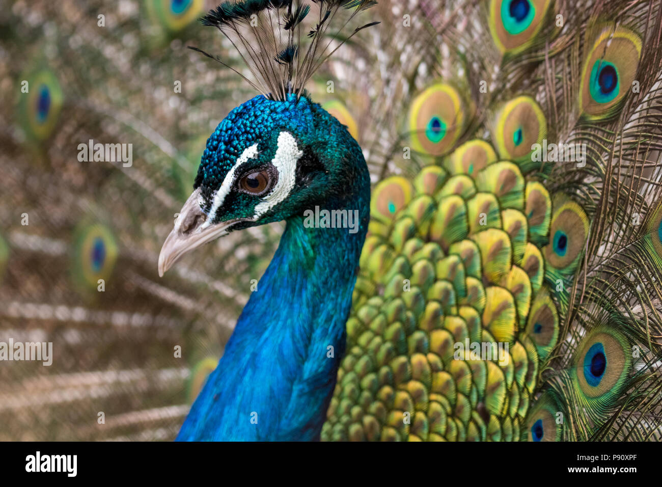 Beautiful male peacock, portrait with his colorful yellow, green and blue feathers out, close-up - Stock Image
