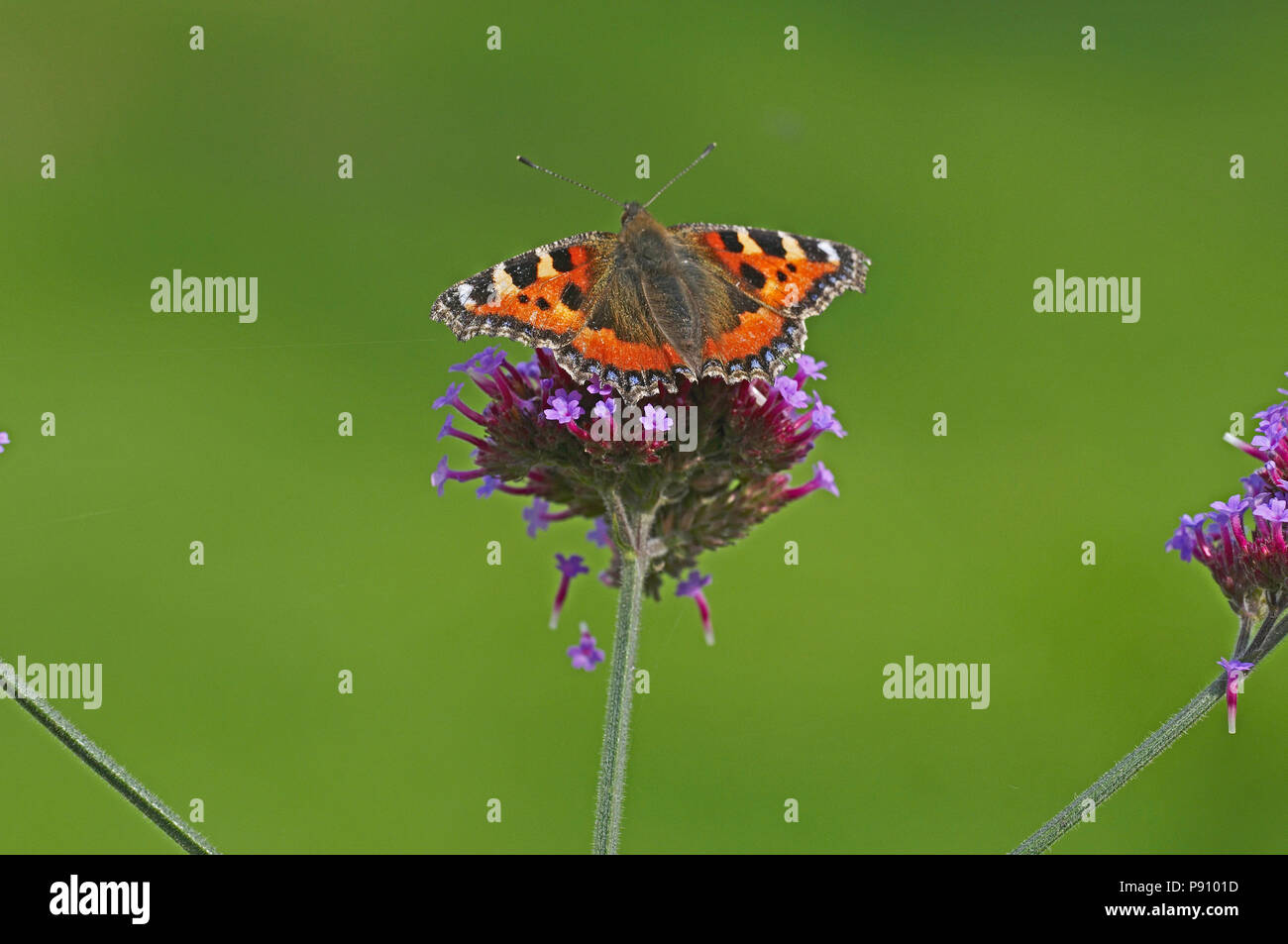 Small Tortoiseshell butterfly on a Verbena Bonariensis in a cottage garden - Stock Image