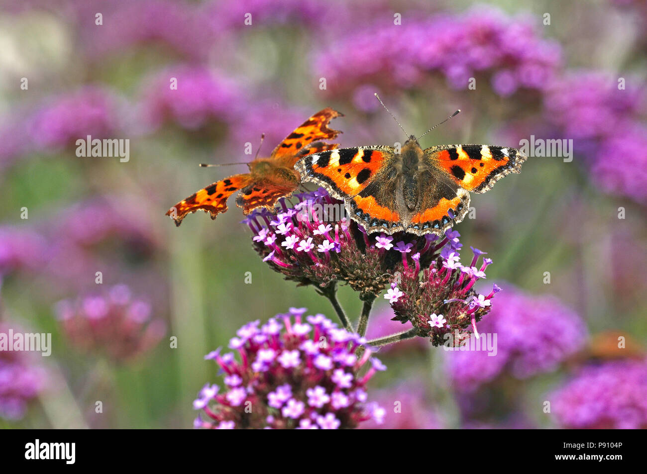 The Comma butterfly and a Tortoiseshell butterfly in a cottage garden - Stock Image