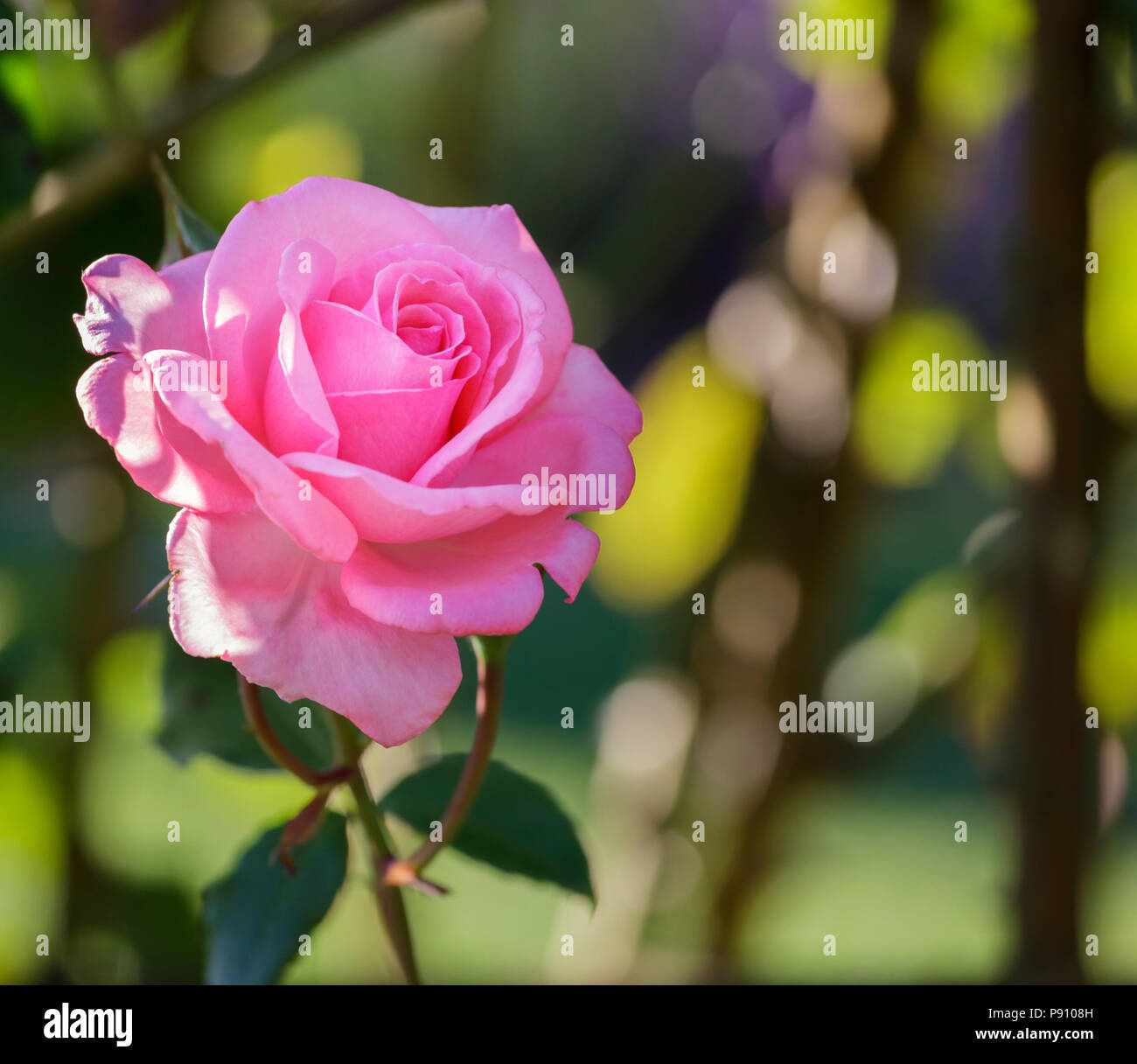 Pink Rose ,Rosa Agatha Christie 'Kormeita', Hyde Hall, Essex - Stock Image