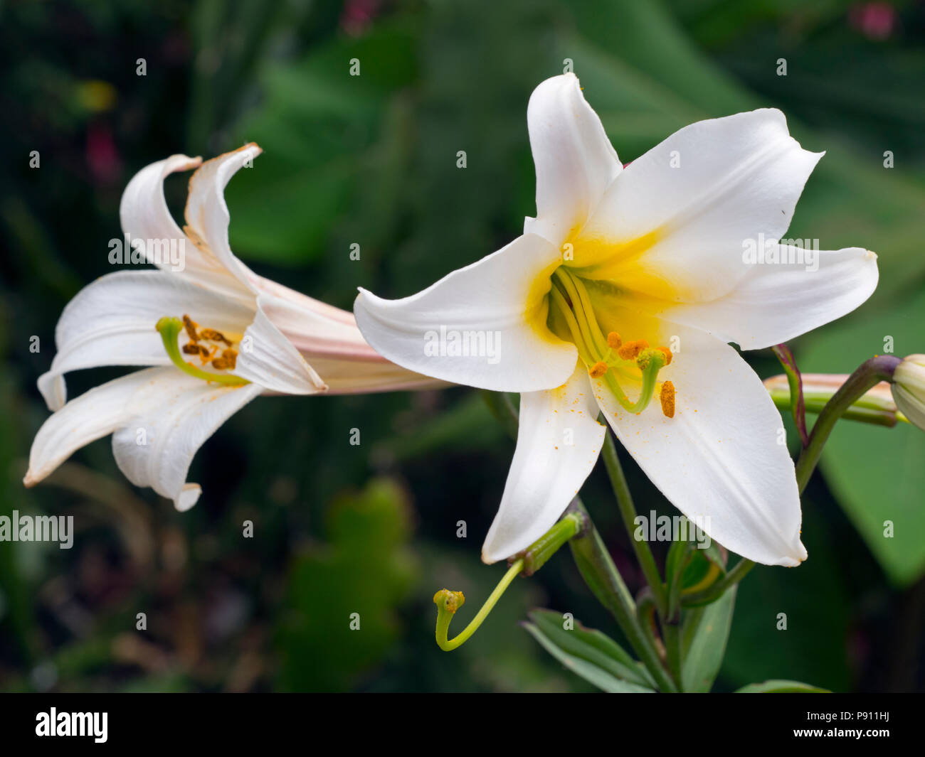 Regal lily Lilium regale Stock Photo