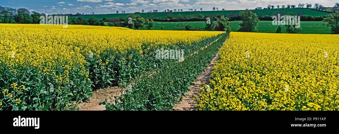A large panoramic view of a Field of Oilseed Rape in the English countryside - Stock Image