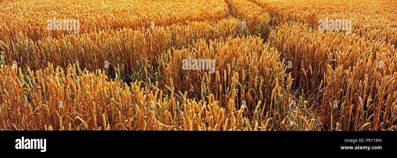 Panoramic Close up of a ripe wheat field in the Rutland English countryside - Stock Image