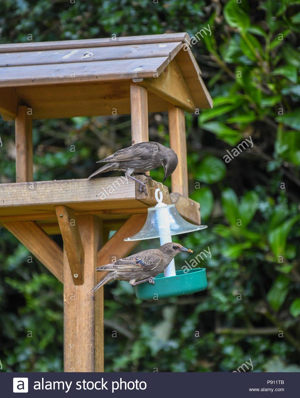 Juvenile starlings feeding on a bird table in an English country garden - Stock Image
