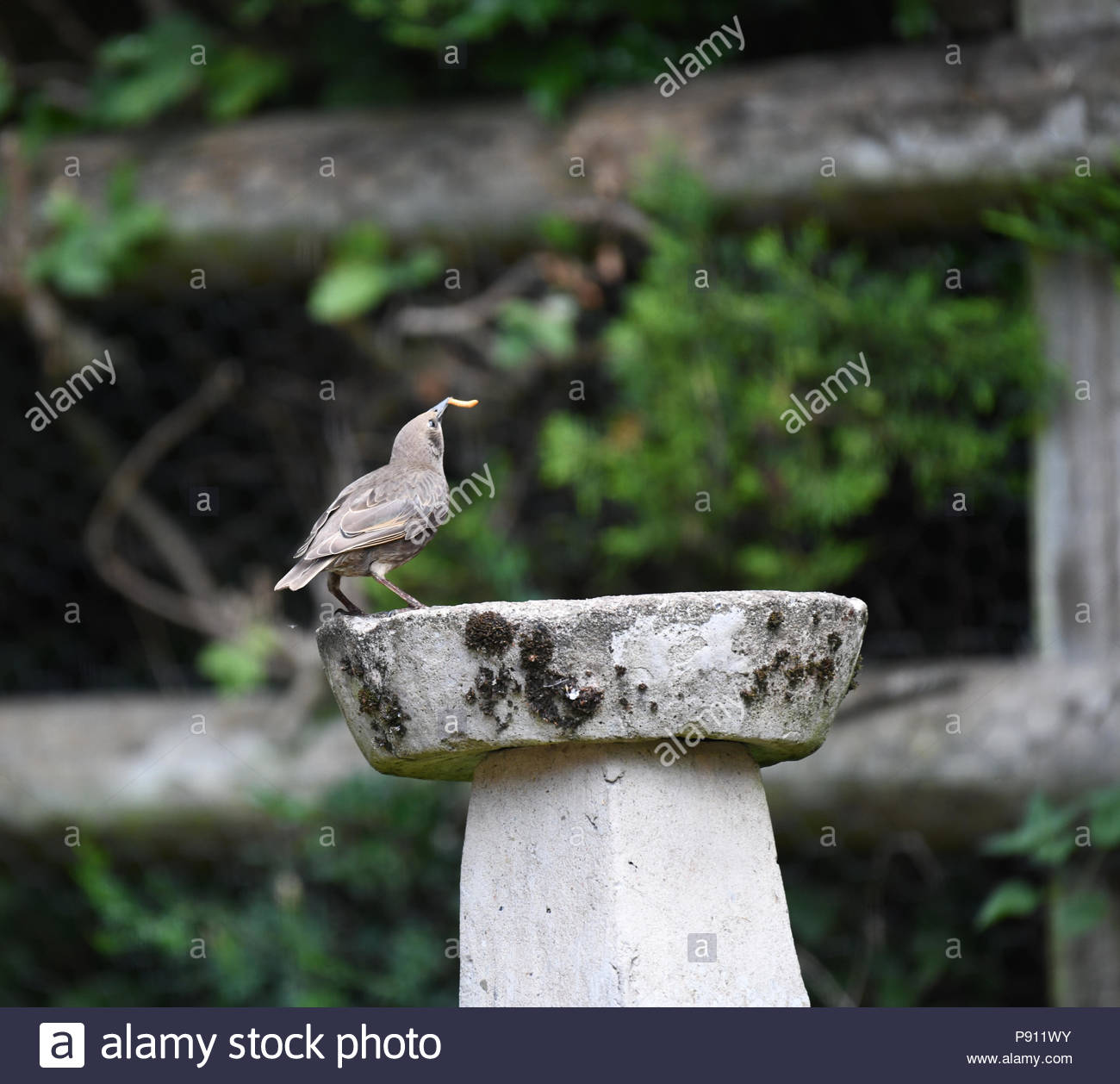 Juvenile starlings feeding on a bird table in an English country garden - Stock Image