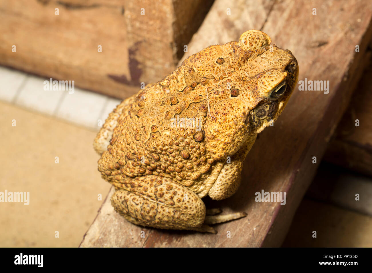 A cane toad, Rhinella marina,  in the jungle of Suriname South America at Raleighvallen nature reserve. The toad can produce toxic chemicals known as  - Stock Image