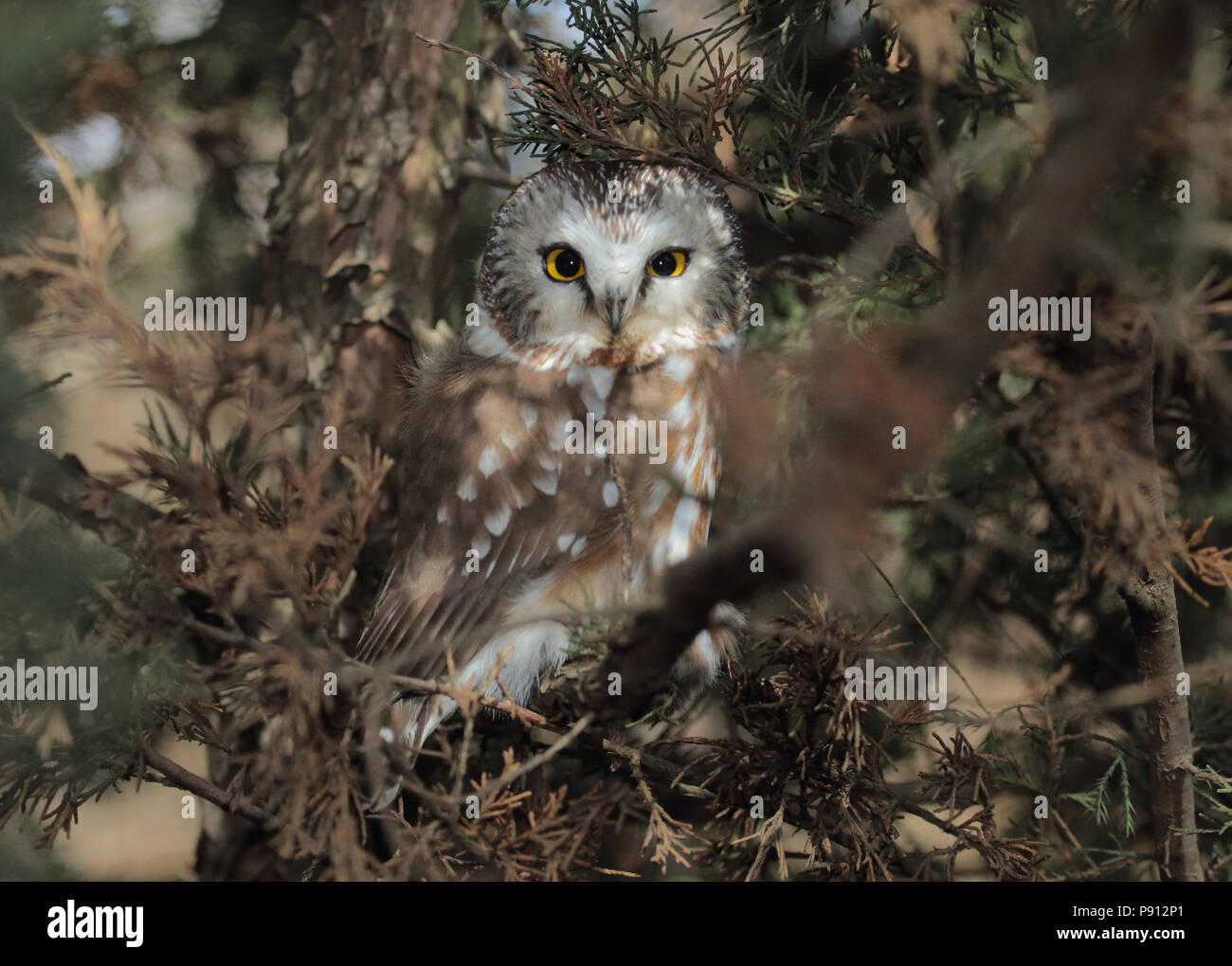 northern saw whet owl february 21st 2015 lake alvin lincoln county