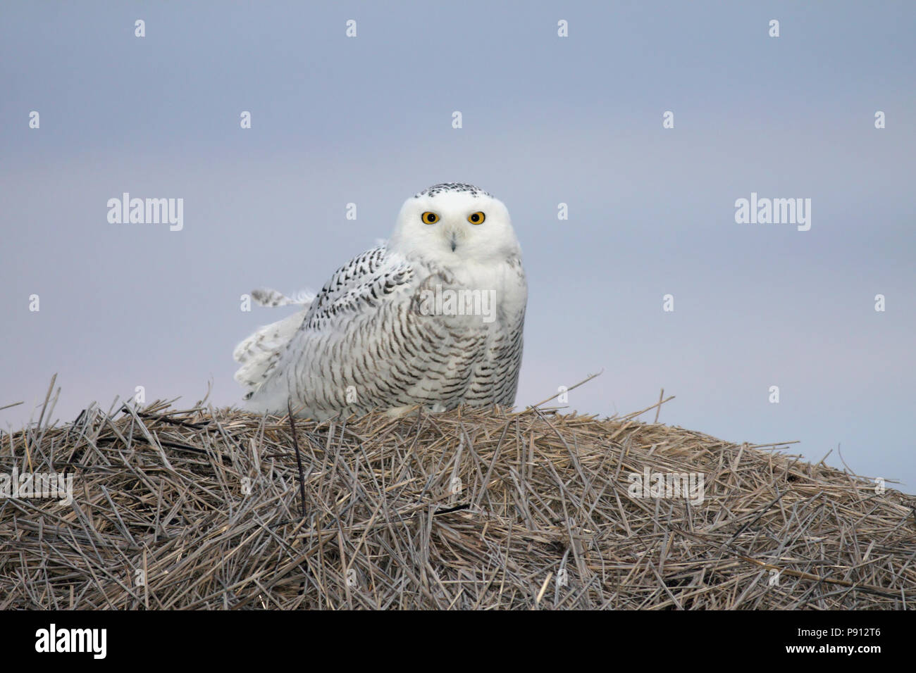 Snowy Owl on a hay bale. Taken right before dawn at Lake Andes National Wildlife Refuge, South Dakota, USA - Stock Image