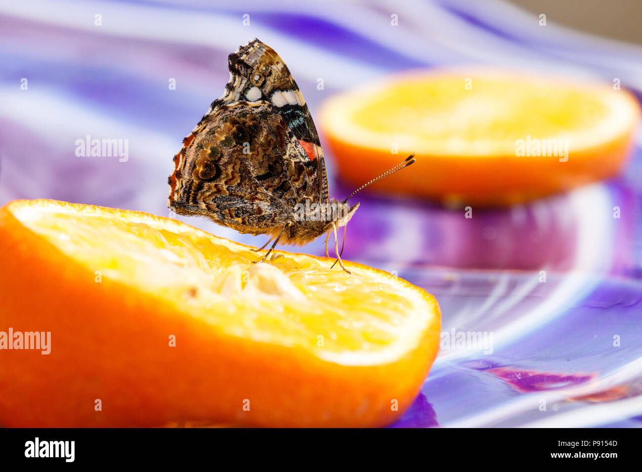 Painted Lady Butterfly With Closed Wings, Drinking From An Orange Slide On  Colorful Glass Table.