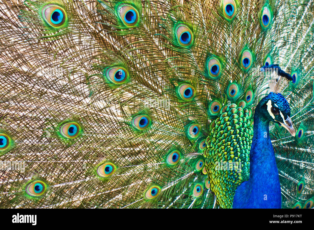 male Indian peafowl - Pavo cristatus displaying his tail Stock Photo