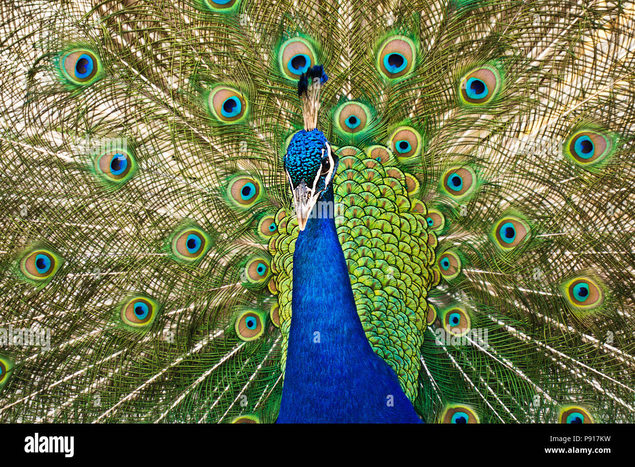 male Indian peafowl - Pavo cristatus displaying his tail - Stock Image