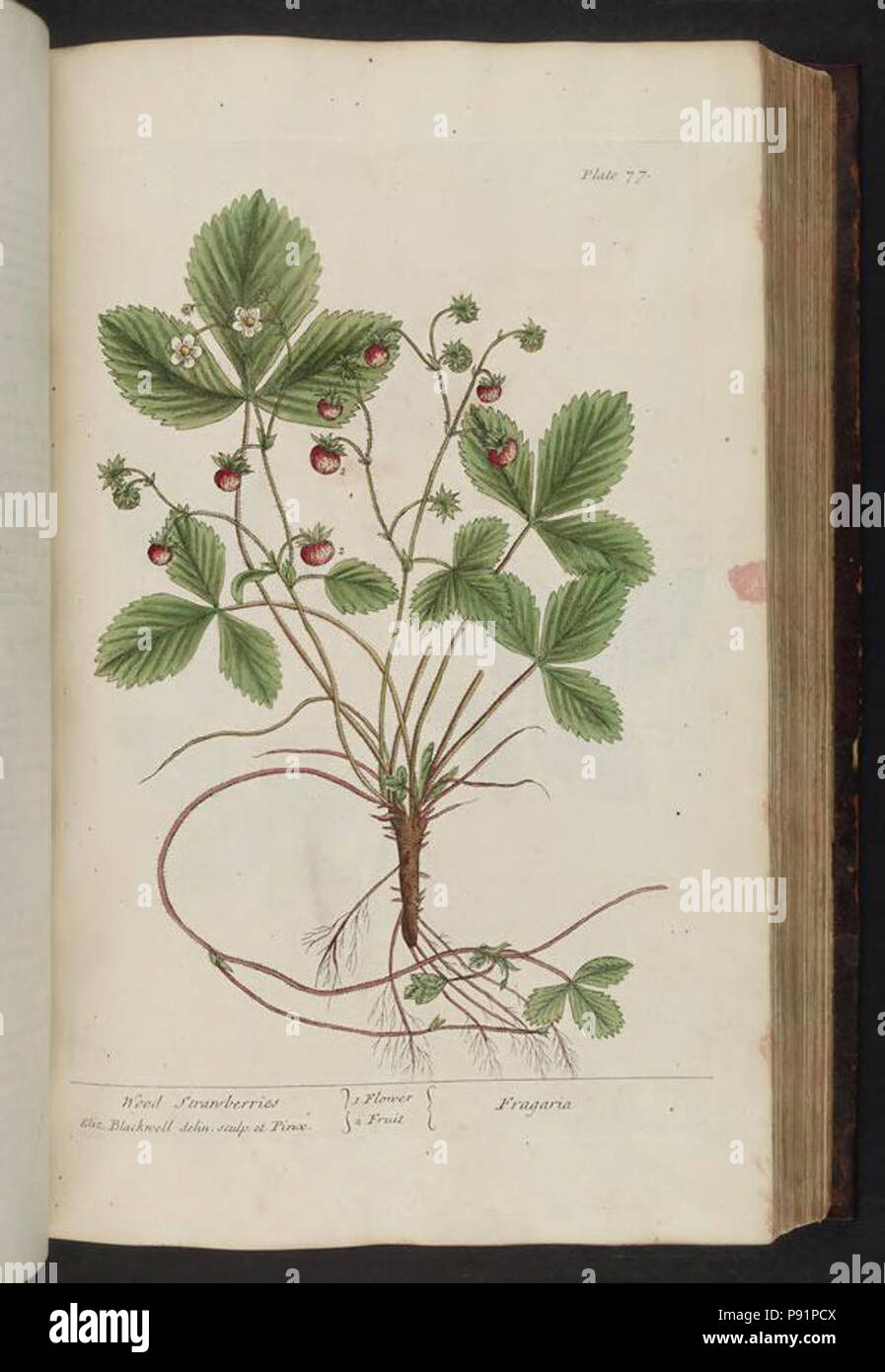 A curious herbal (Plate 77) - Stock Image