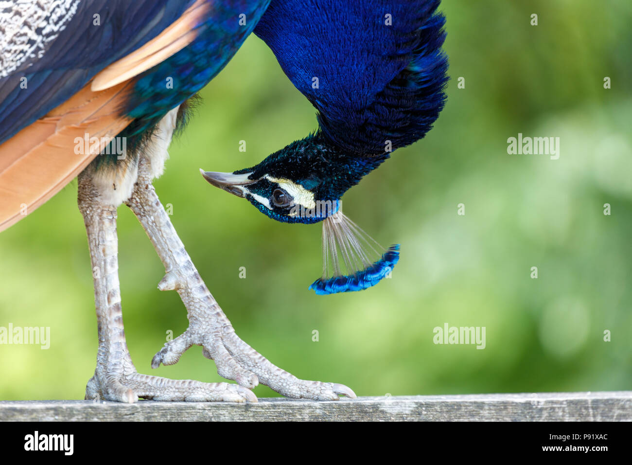 wild Peacock bird at Surrey BC Canada - Stock Image