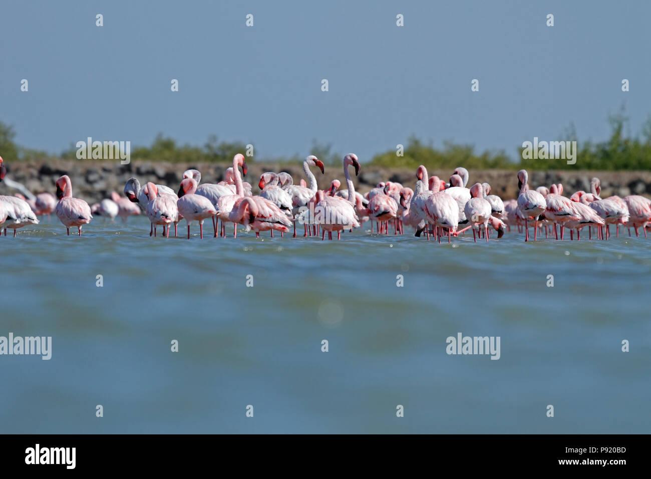 Flamingos near Jamnagar in Gujarat, India - Stock Image