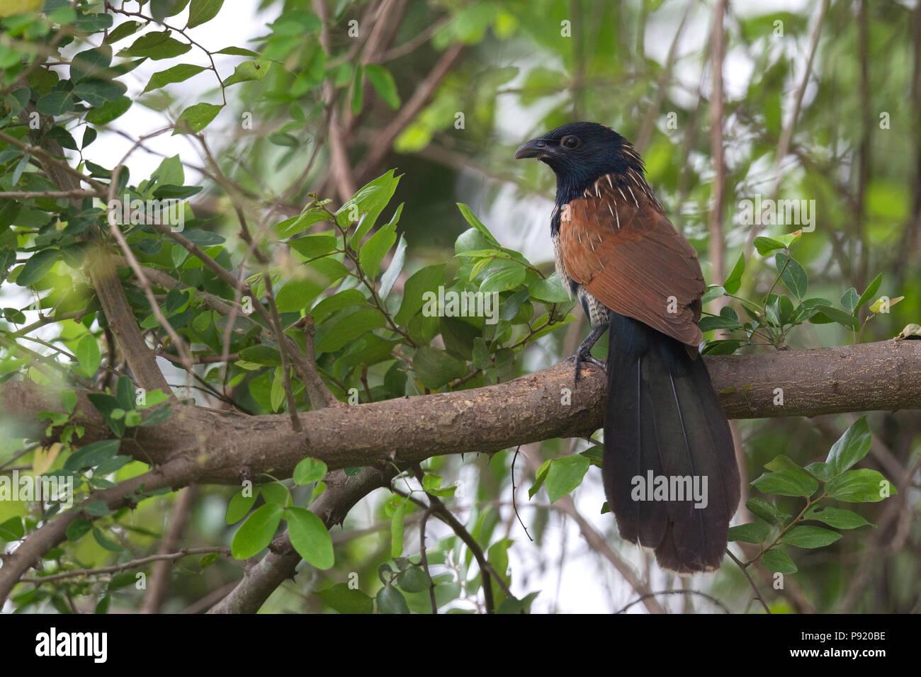 Lesser Coucal (Centropus bengalensis) in Jaguli, Nadia, West Bengal - Stock Image