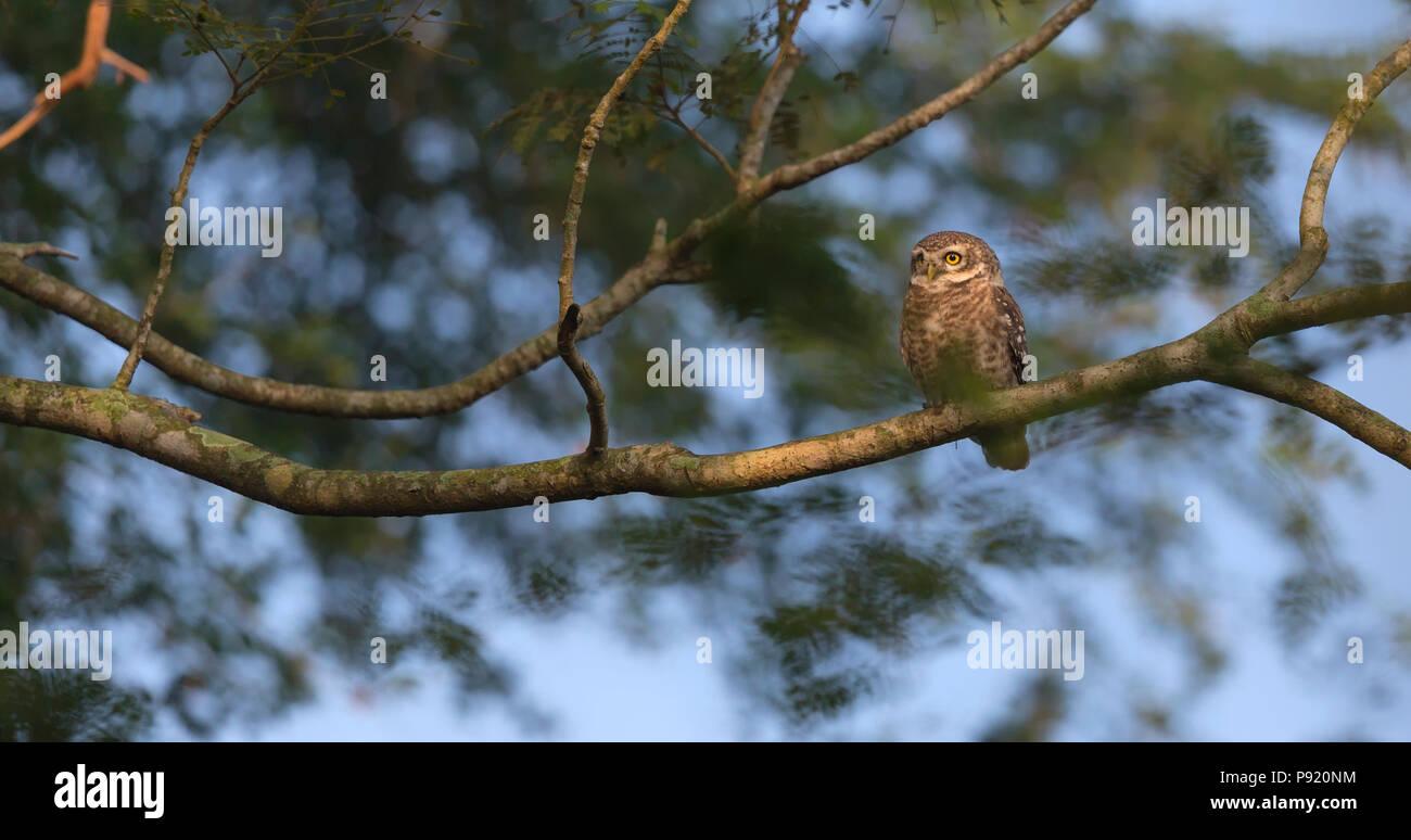 Spotted Owlet (Athene brama) in Jaguli Nadia West Bengal - Stock Image
