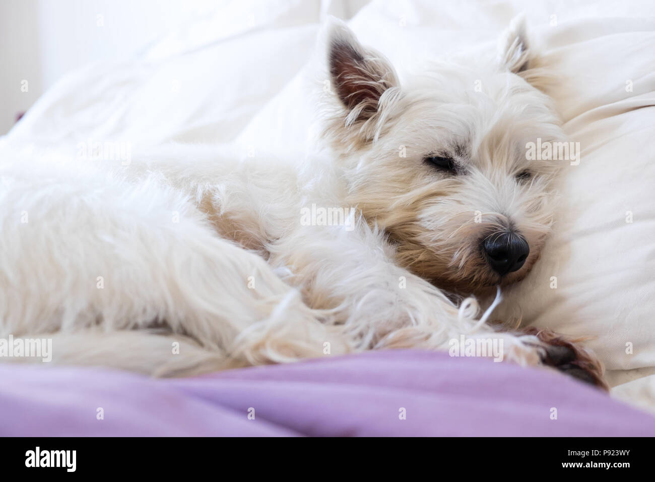Pet friendly accommodation: west highland white terrier westie dog asleep on pillows and duvet on bed - Stock Image