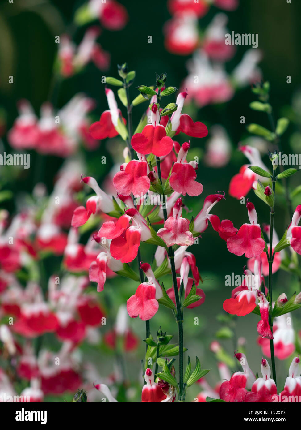 Salvia microphylla 'Hot Lips'  in border July Norfolk Stock Photo
