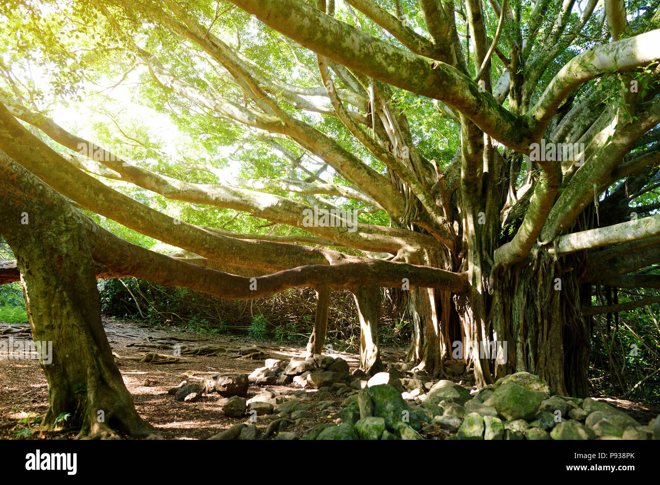 Branches and hanging roots of giant banyan tree growing on famous ...