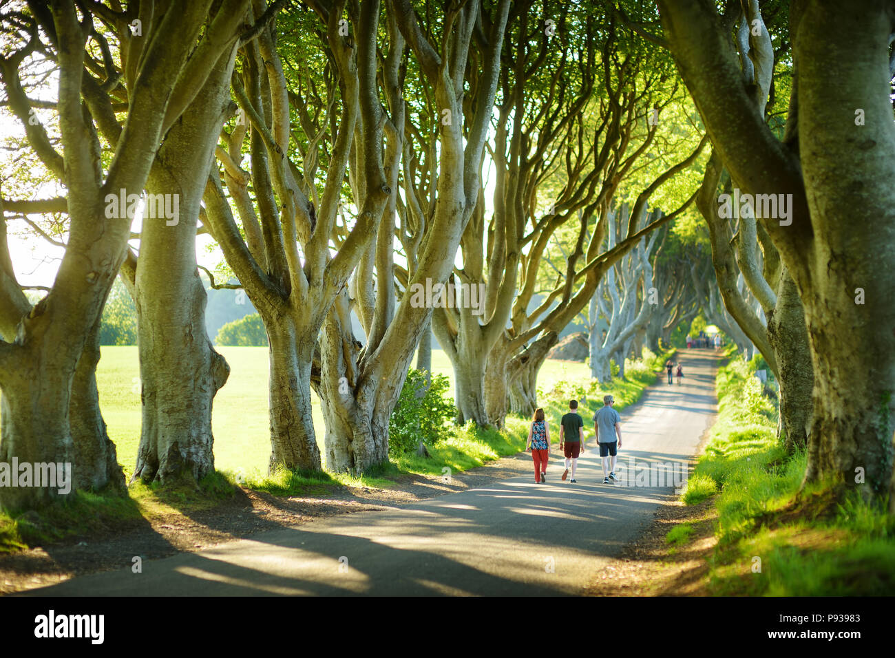 The Dark Hedges, an avenue of beech trees along Bregagh Road in County Antrim. Atmospheric tree tunnel has been used as filming location in popular tv Stock Photo