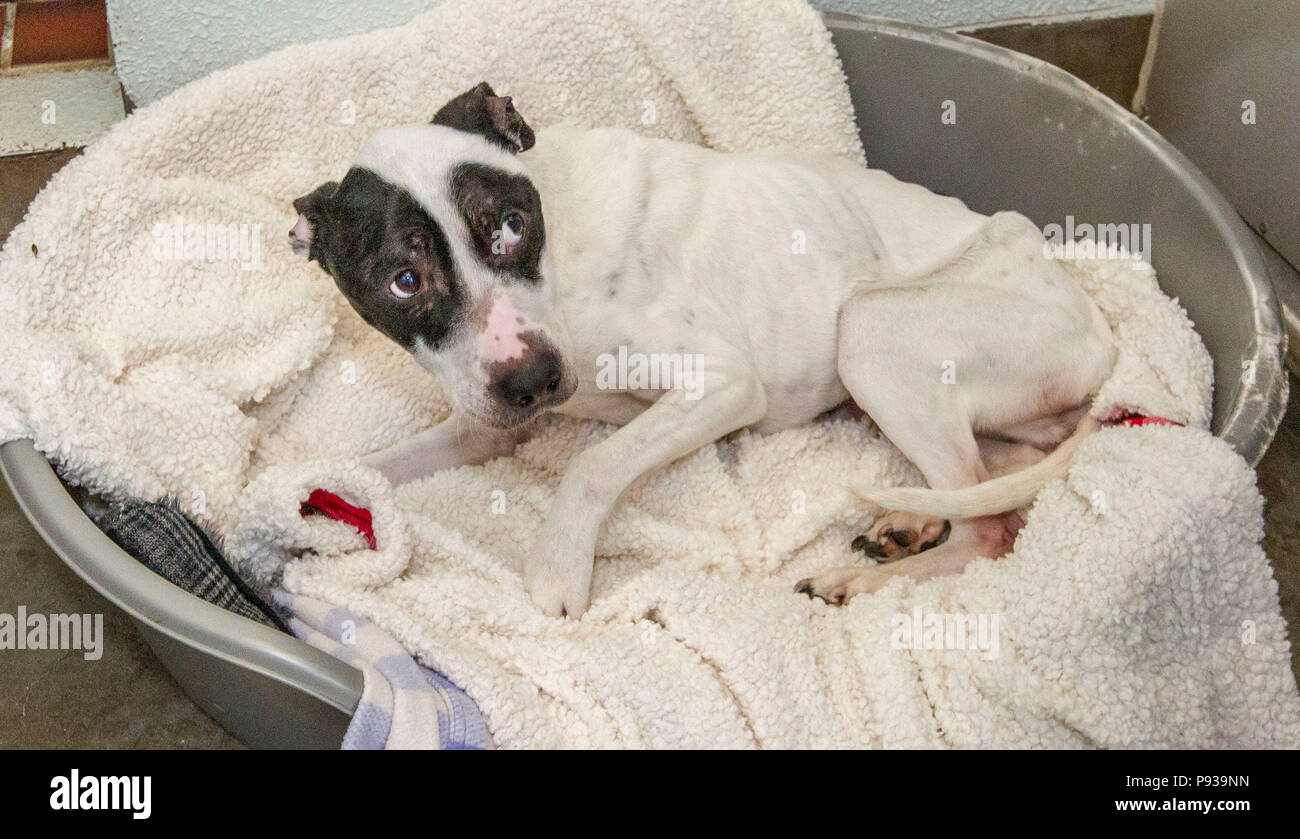 Abused dog getting cared for after rescue Stock Photo