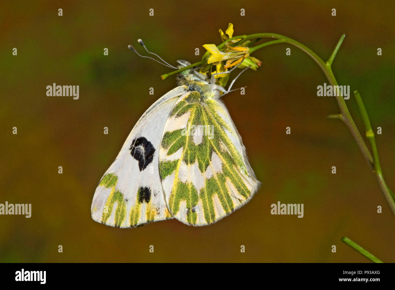A Becker's White butterfly, Pontia beckerii, on a wildflower in thigh desert of central Oregon. - Stock Image