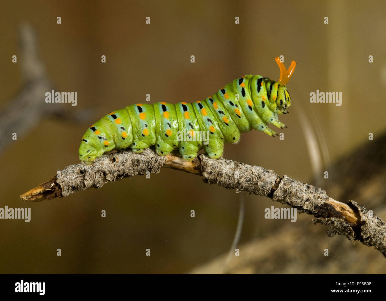 A close up of the caterpillar or larva of an Anise Swallowtail butterfly, Papilio zelicaon, before it pupates. The yellow horns are osmeteria, used fo Stock Photo
