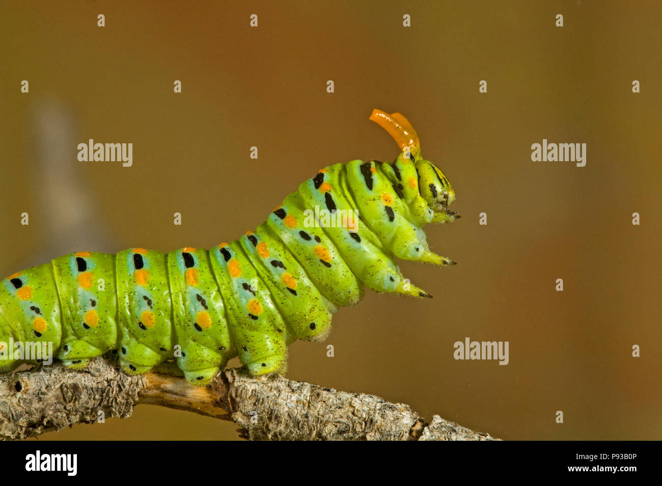 A close up of the caterpillar or larva of an Anise Swallowtail butterfly, Papilio zelicaon, before it pupates. The yellow horns are osmeteria, used fo - Stock Image