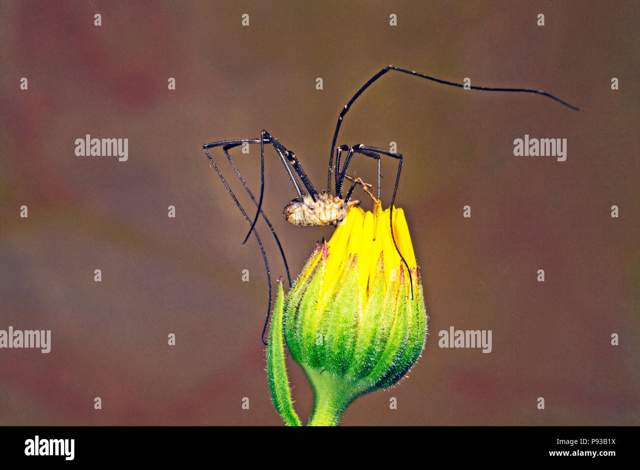 A harvestman, or daddy long egs, an arachnid, although not a spider, on a wildflower in central Oregon. They are carniverous but not posionous. - Stock Image