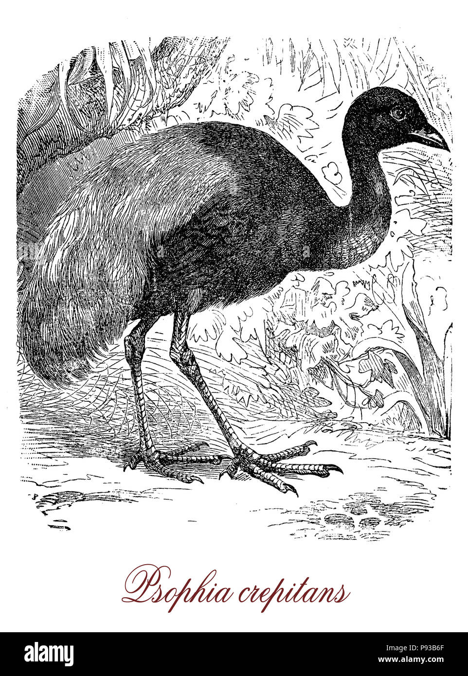 Vintage engraving of grey-winged trumpeter, guineafowl-like bird of tropical South America with long neck and legs.It sings very loudly and it is a more a  runner then a flier. - Stock Image