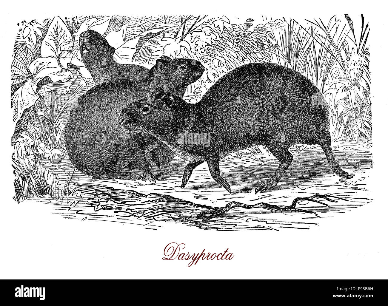 Vintage engraving of Agouti, south America and Middle America rodent, similar to guinea pig Stock Photo