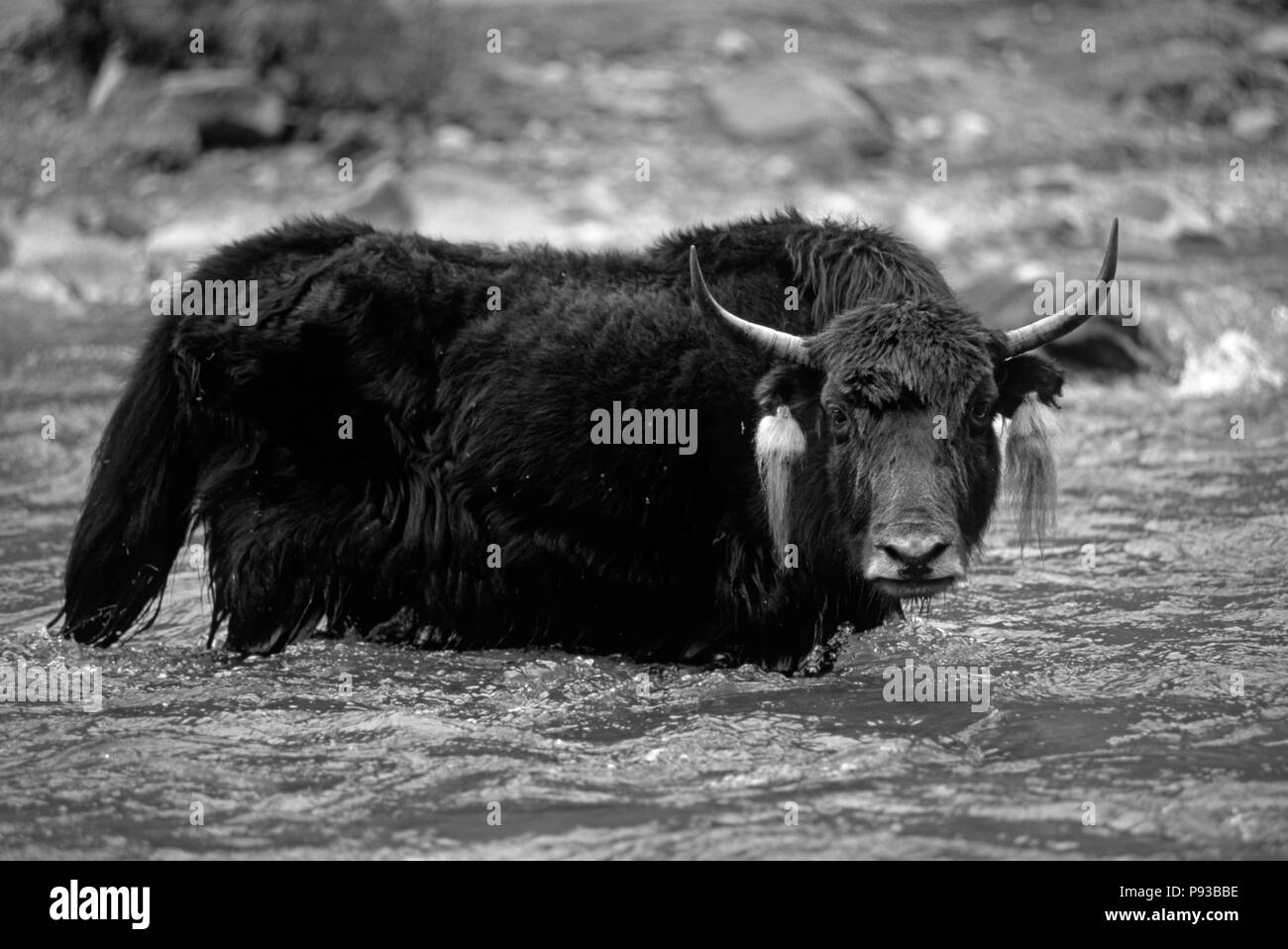 A BLACK YAK (Bos grunniens) crosses the river leading to Terdrom Nunnery - CENTRAL TIBET - Stock Image