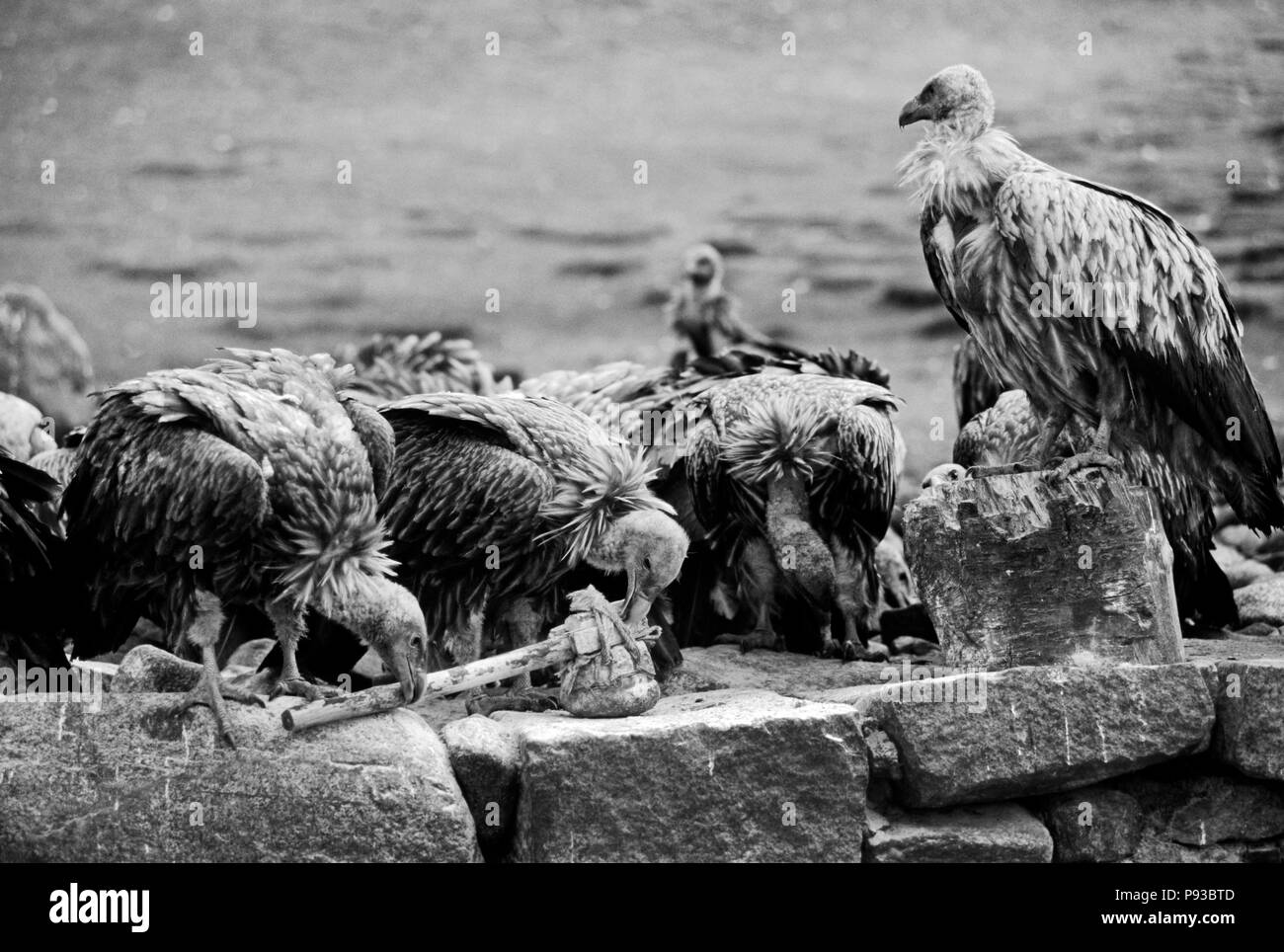 The human dead are ceremonially cut up & fed to the VULTURES by monks at the SKY BURIAL GROUNDS - DRIGUNG MONASTERY, TIBET - Stock Image