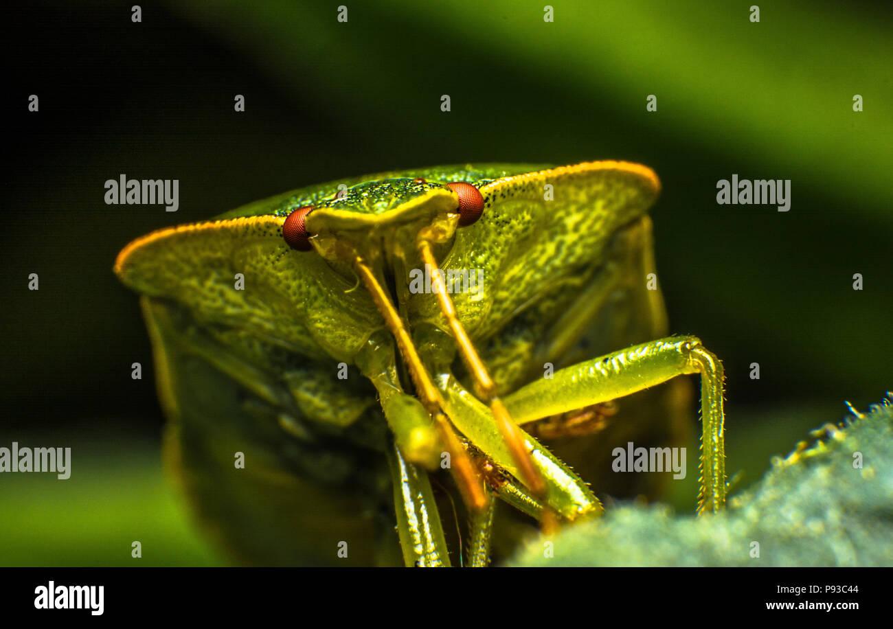 Macro Shot Of Bedbug Stock Photo 212131700 Alamy