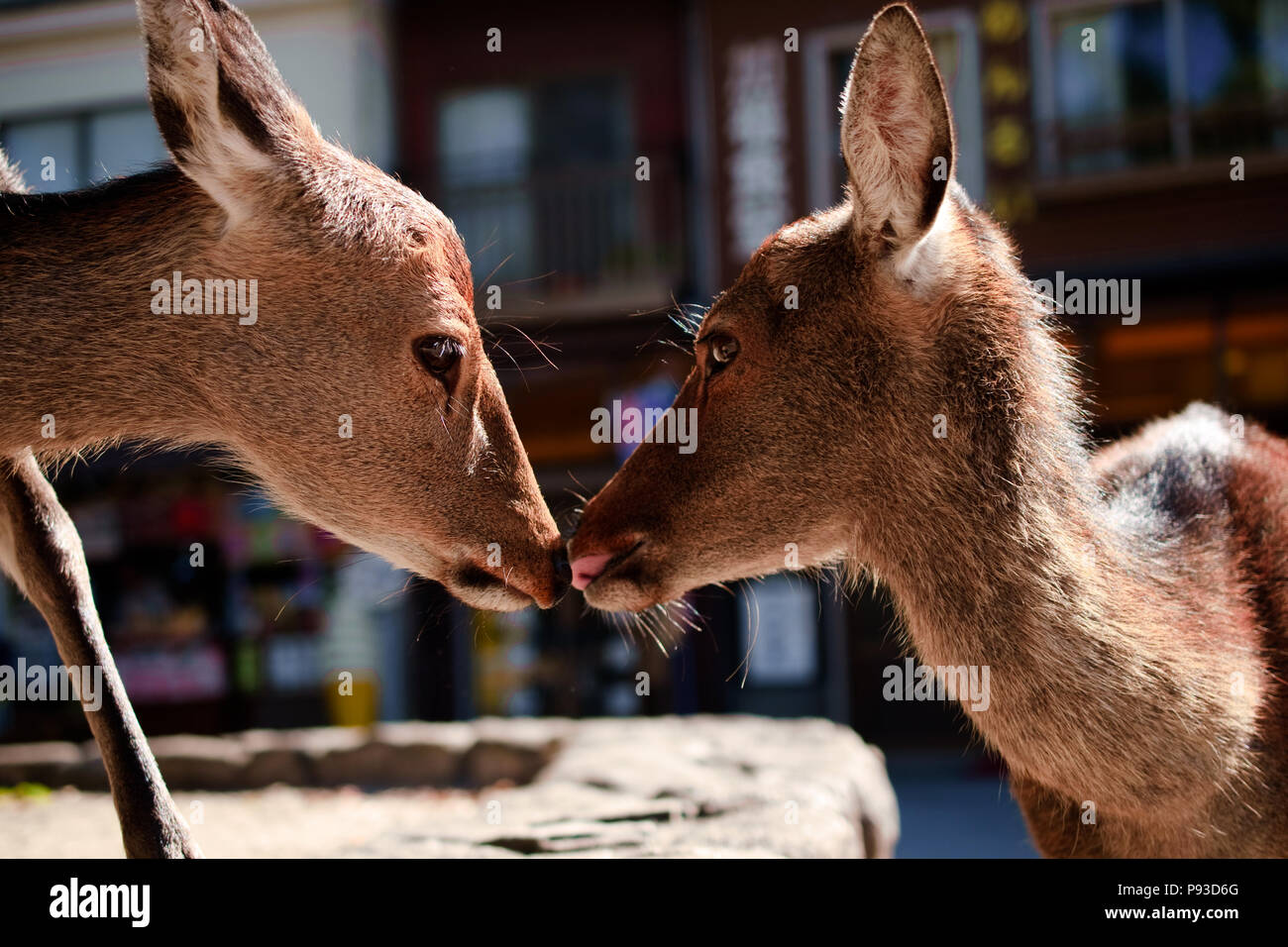 deer were begging and playing in nara park, kyoto - Stock Image
