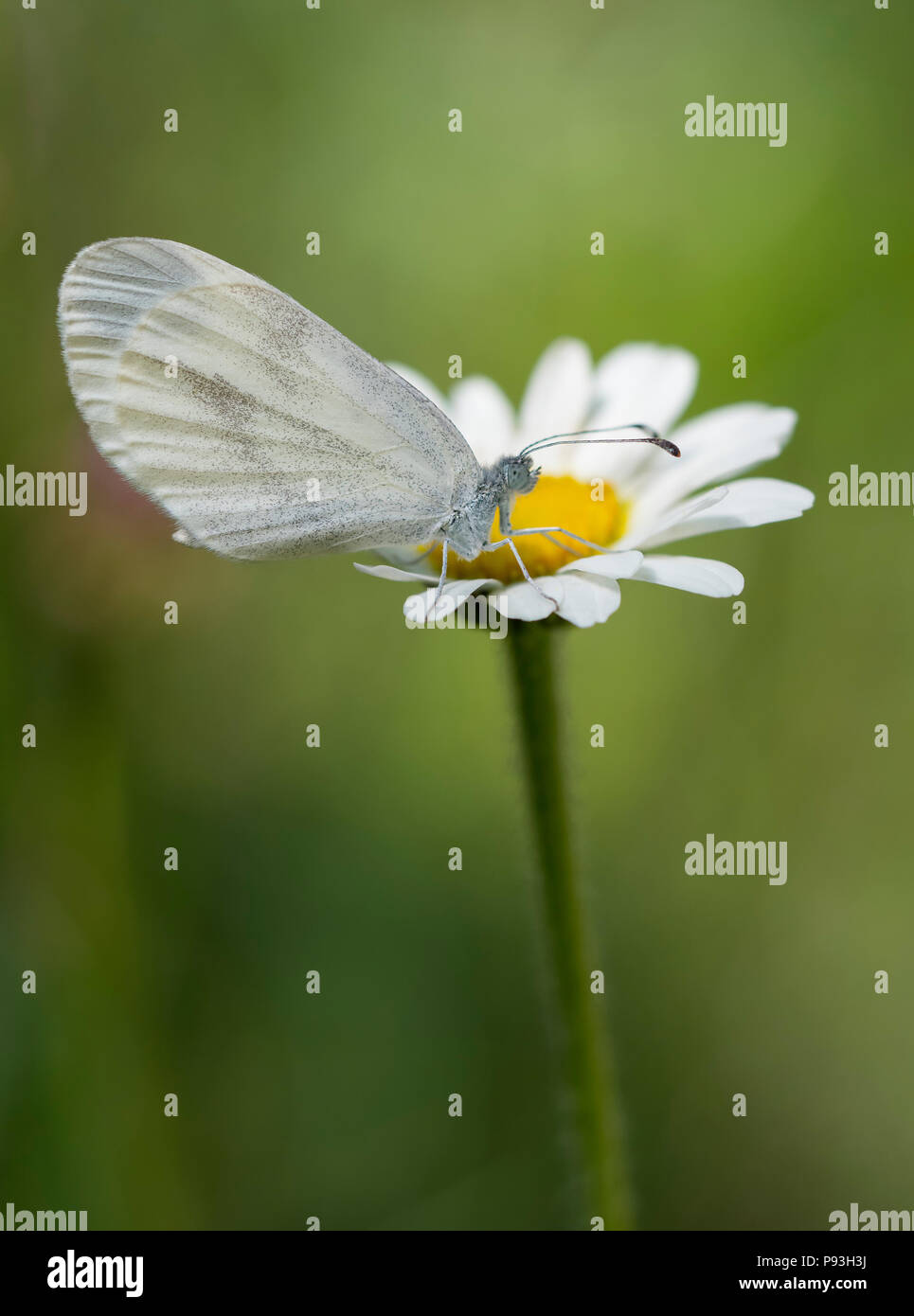 White alpine butterfly - Stock Image