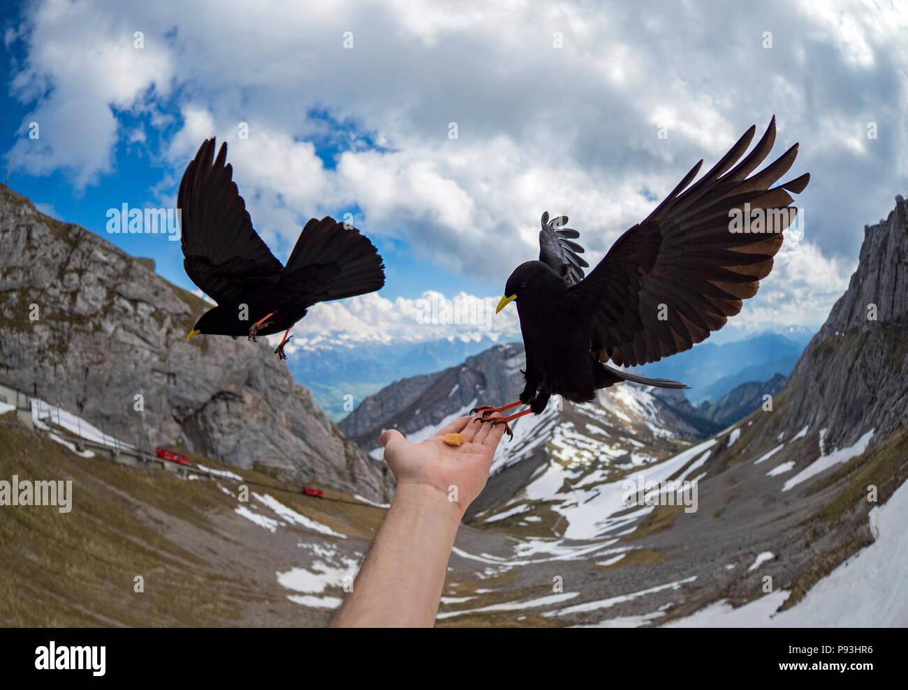Feeding alpine choughs Stock Photo
