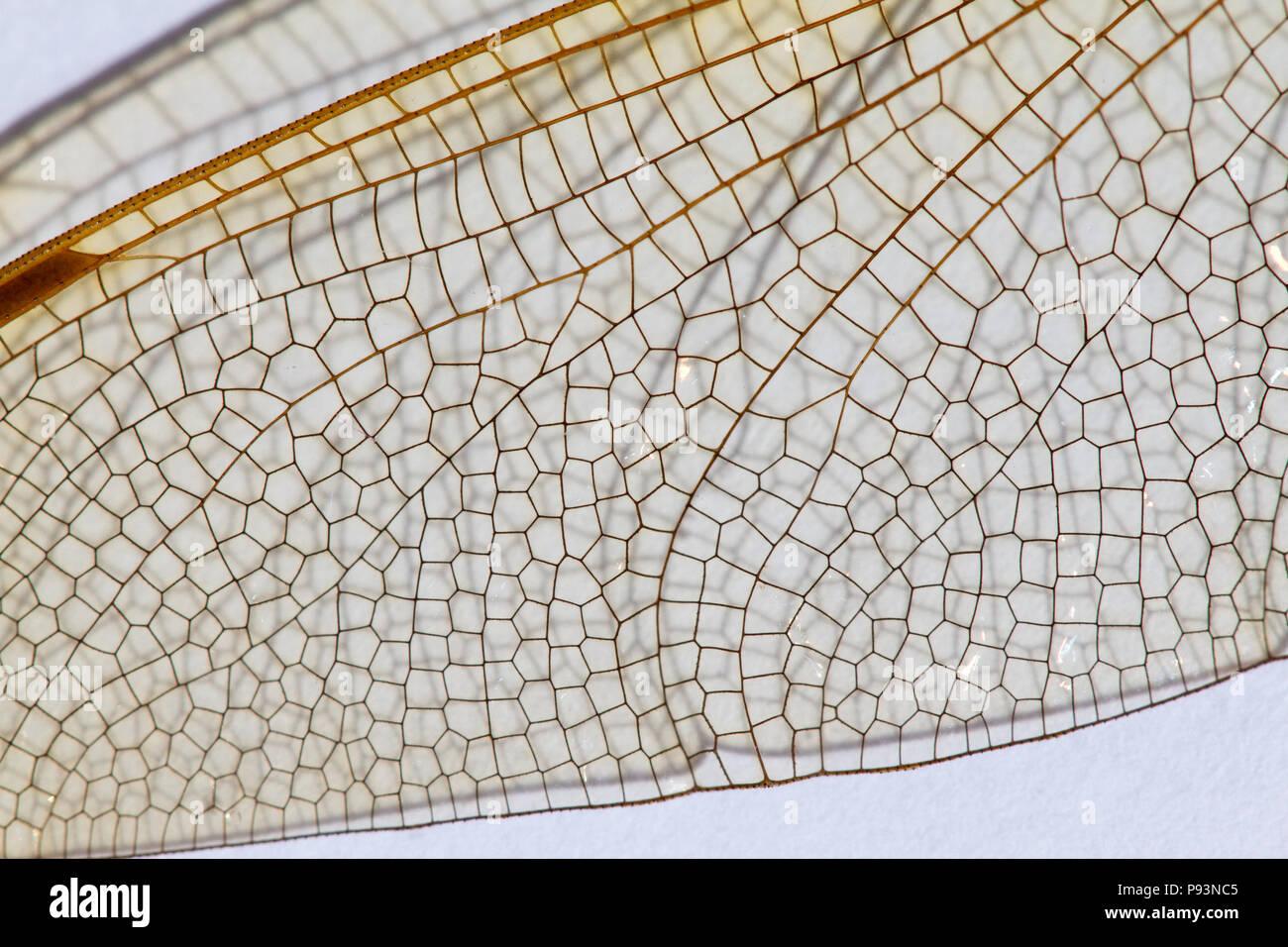 Brown Hawker, Aeshna grandis, wing close up view, UK - Stock Image