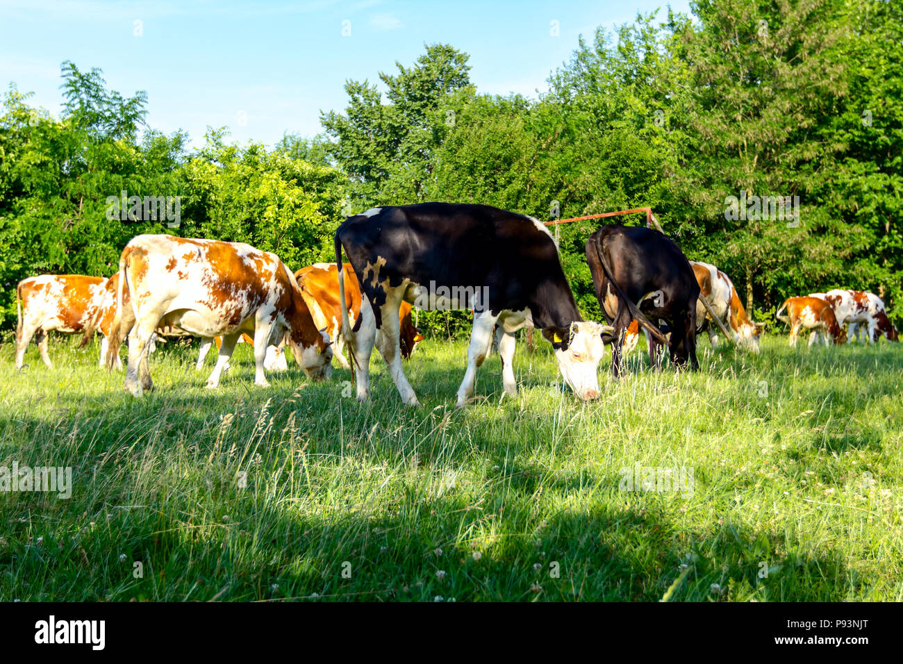 Herd of domestic bloodstock cows are grazing grass in rural village. Stock Photo